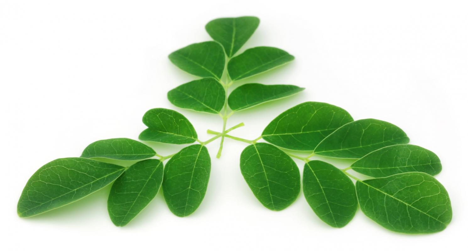 Le Moringa, plante d'exception